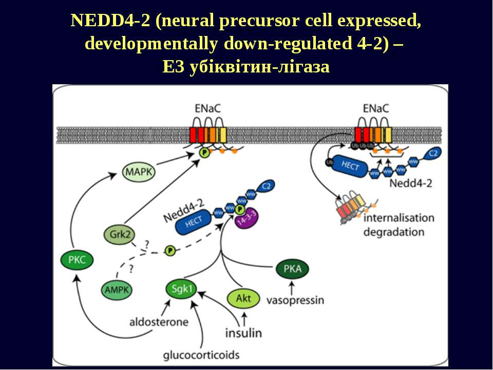 NEDD4-2 (neural precursor cell expressed, developmentally down-regulated 4-2)...