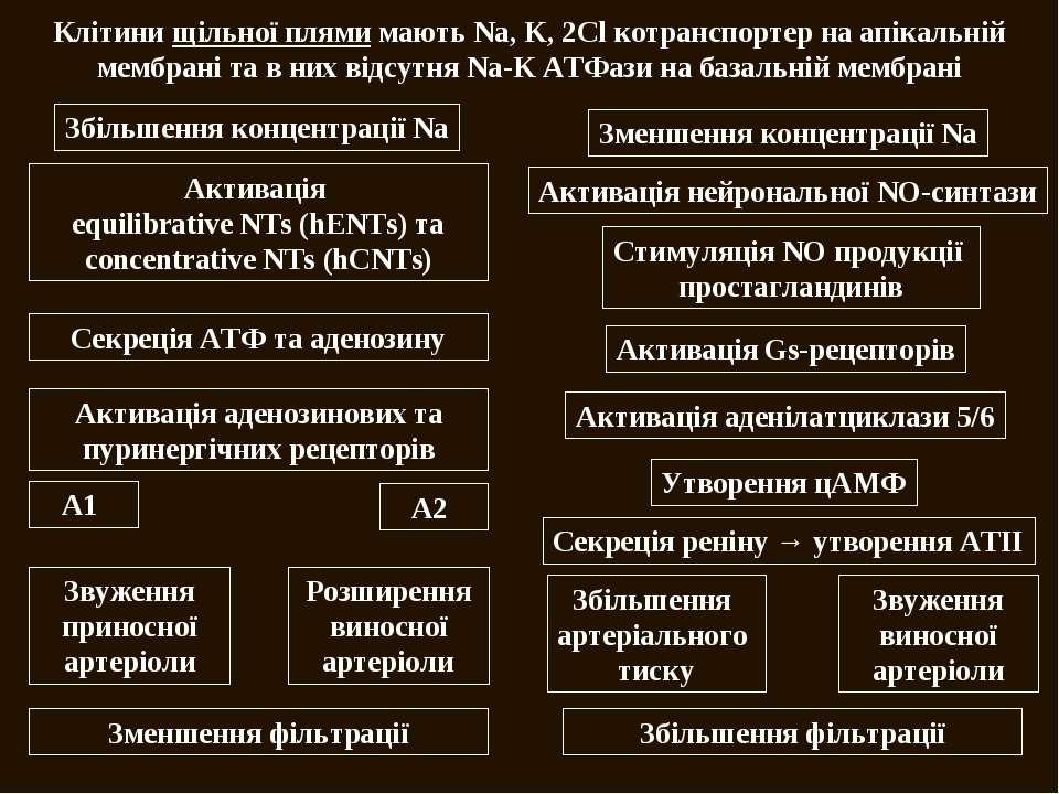 Клітини щільної плями мають Na, K, 2Cl котранспортер на апікальній мембрані т...