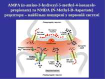 AMPA (α-amino-3-hydroxyl-5-methyl-4-isoxazole-propionate) та NMDA (N-Methyl-D...