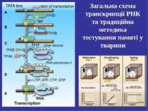 Загальна схема транскрипції РНК та традиційна методика тестування памяті у тв...