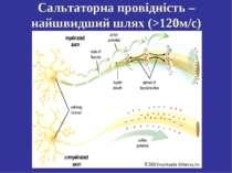 Сальтаторна провідність – найшвидший шлях (>120м/с)