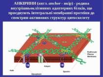 АНКІРИНИ(англ. anchor-якір) - родина внутрішньоклітинних адаптерних білків...