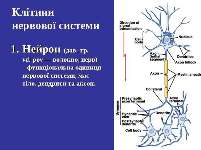 Клітини нервової системи Нейрон (дав.-гр. νεῦρον — волокно, нерв) – функціона...