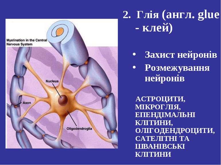 2. Глія (англ. glue - клей) Захист нейронів Розмежування нейронів АСТРОЦИТИ, ...