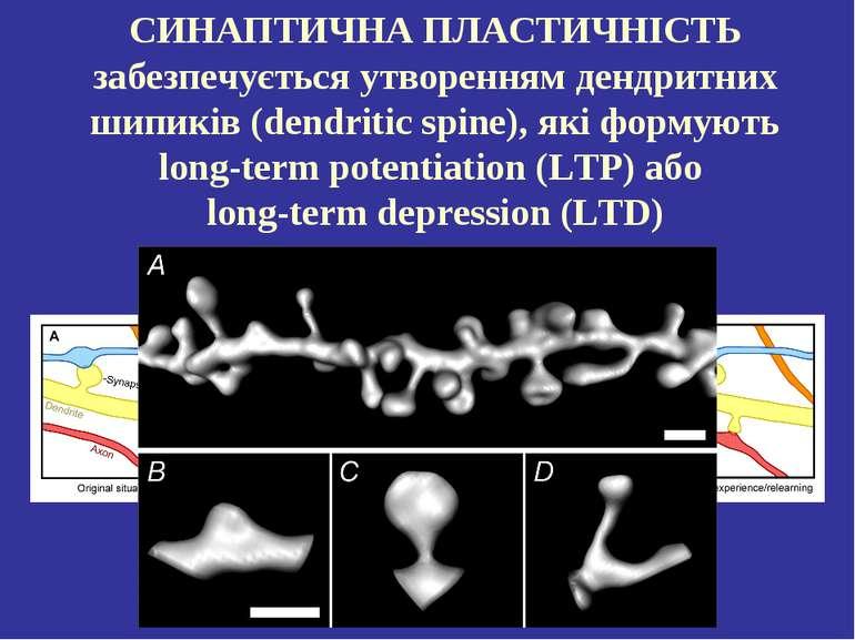 СИНАПТИЧНА ПЛАСТИЧНІСТЬ забезпечується утворенням дендритних шипиків (dendrit...