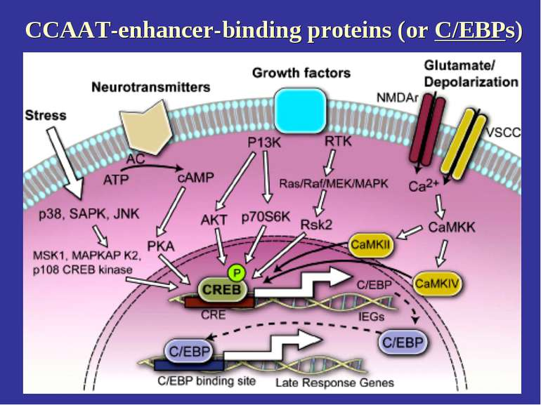 CCAAT-enhancer-binding proteins (or C/EBPs)