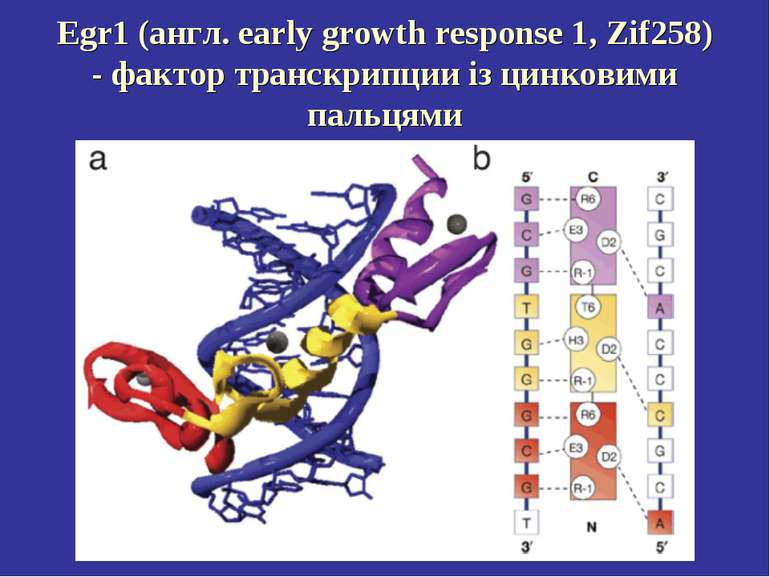 Egr1 (англ. early growth response 1, Zif258) - фактор транскрипции із цинкови...