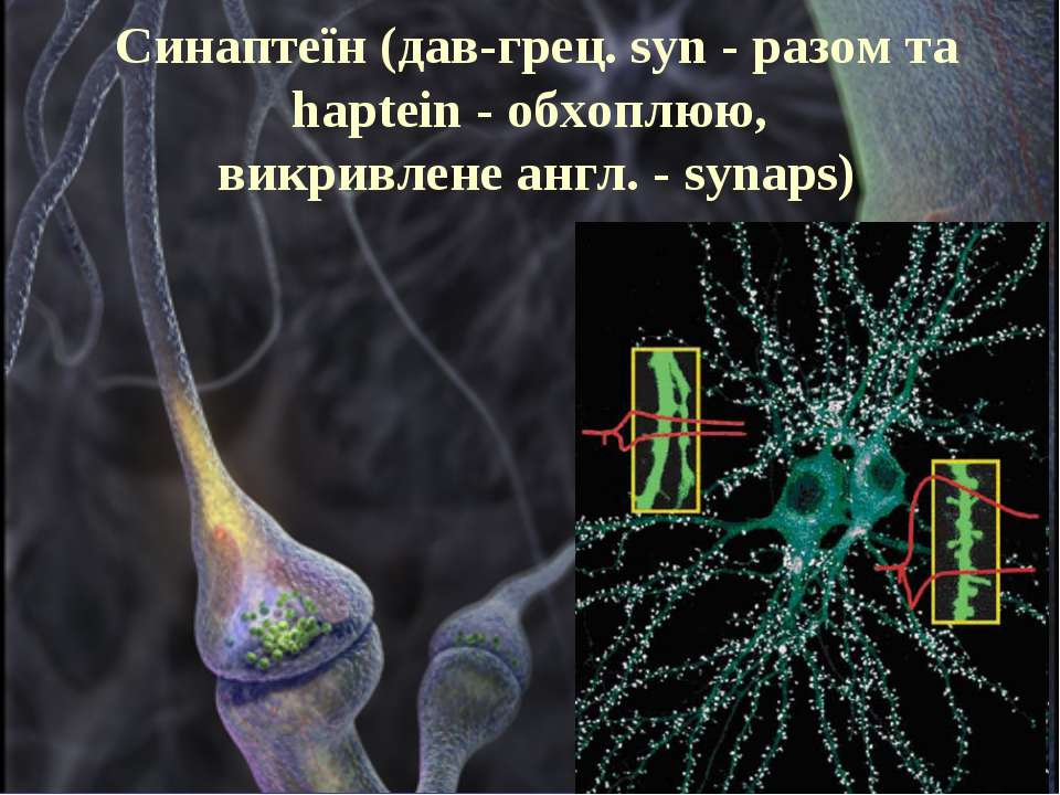 Синаптеїн (дав-грец. syn - разом та haptein - обхоплюю, викривлене англ. - sy...