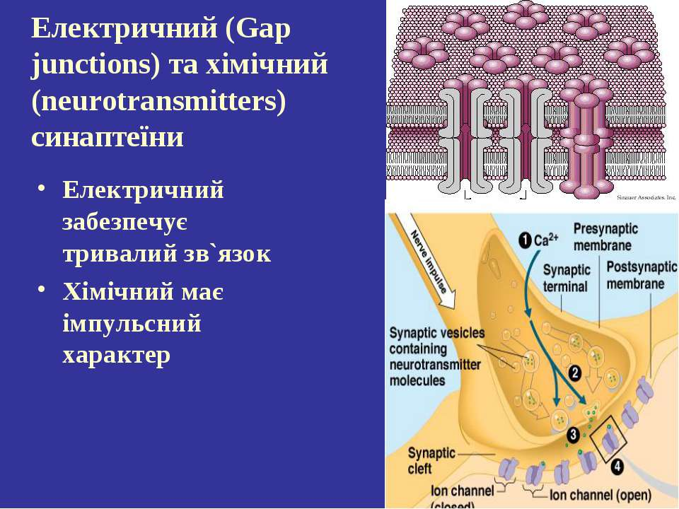 Електричний (Gap junctions) та хімічний (neurotransmitters) синаптеїни Електр...