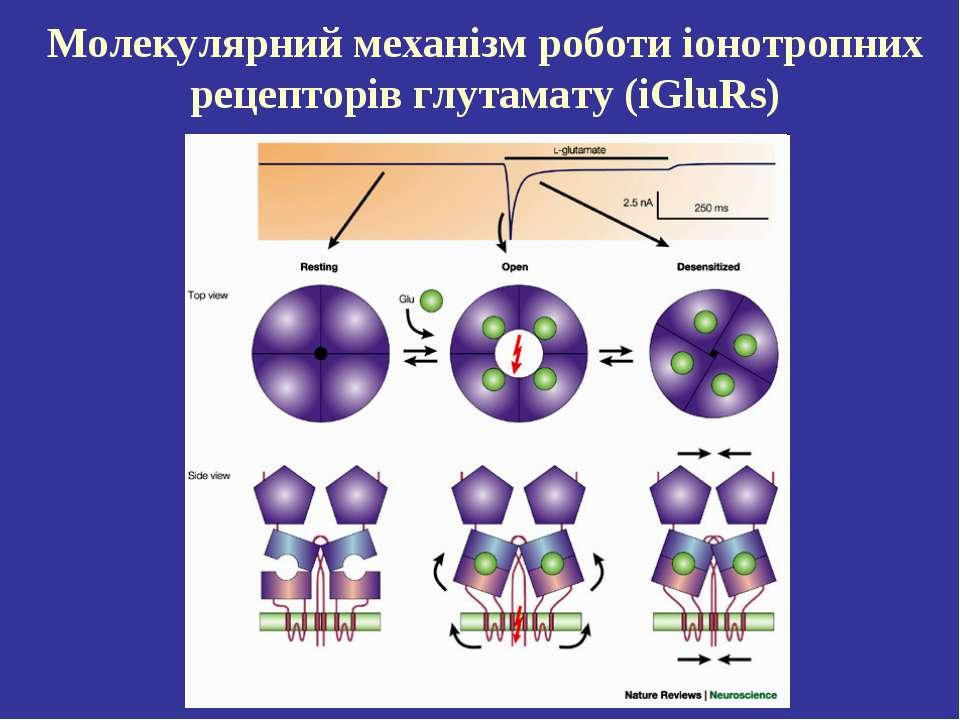 Молекулярний механізм роботи іонотропних рецепторів глутамату (iGluRs)