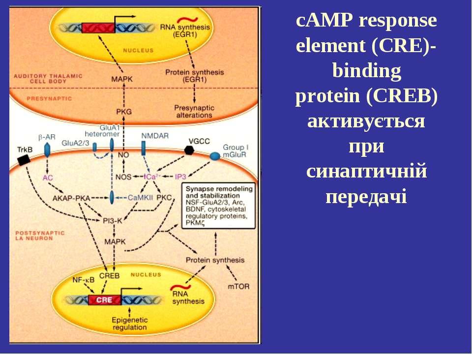 cAMP response element (CRE)-binding protein (CREB) активується при синаптичні...