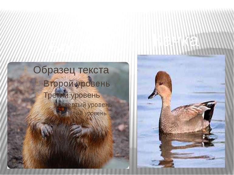 Бобер Качка