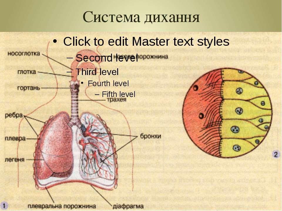 Система дихання