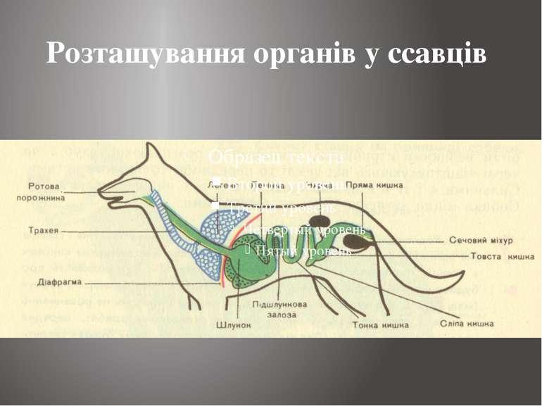 Розташування органів у ссавців