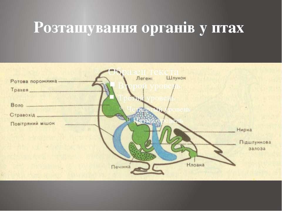 Розташування органів у птах