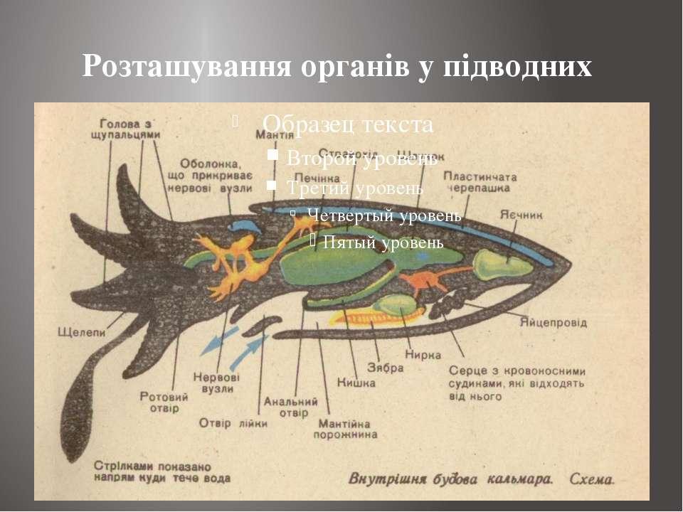 Розташування органів у підводних