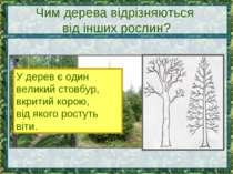Чим дерева відрізняються від інших рослин? У дерев є один великий стовбур, вк...