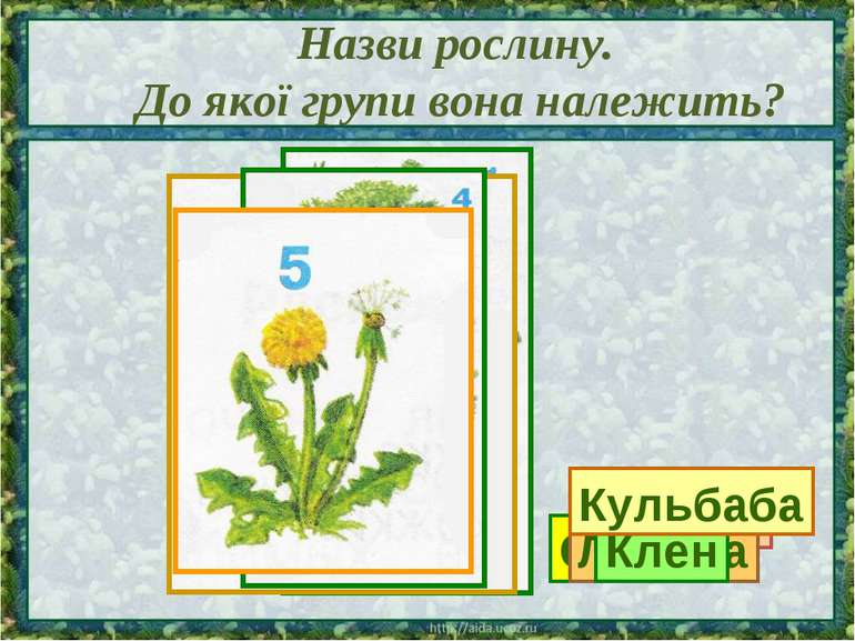 Назви рослину. До якої групи вона належить? Сосна Калина Ліщина Клен Кульбаба