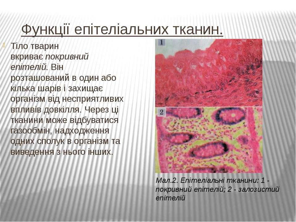 Функції епітеліальних тканин. Тіло тварин вкриваєпокривний епітелій. Він р...