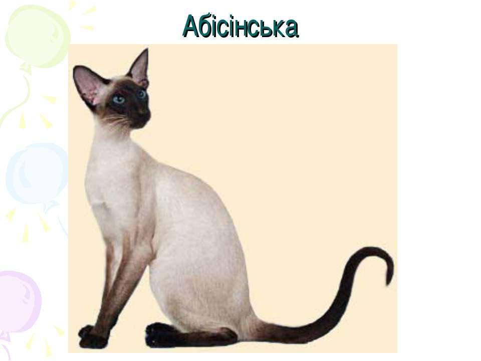 Абісінська