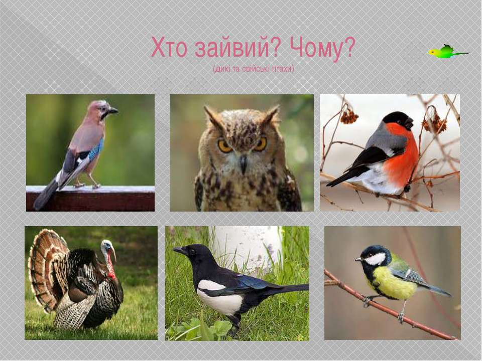 Хто зайвий? Чому? (дикі та свійські птахи) Індик, свійський птах. Павлюк Вале...