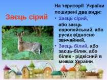 Заєць сірий На території України поширені два види: Заєць сірий, або заєць є...