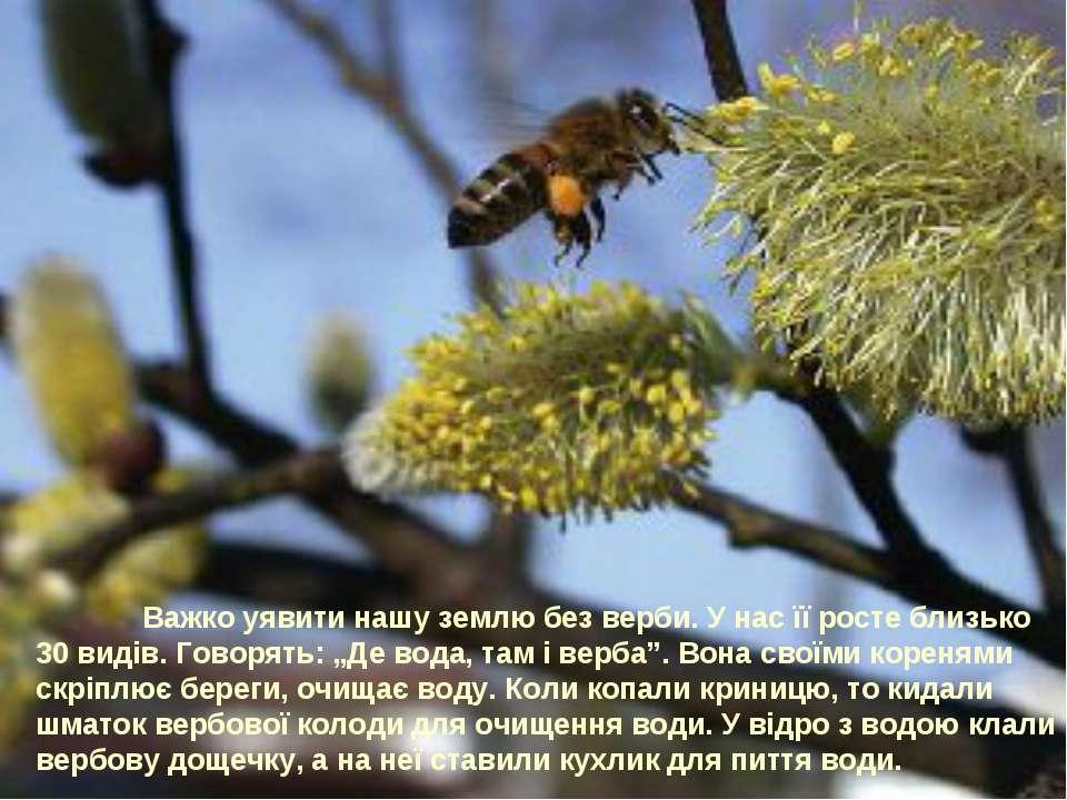Важко уявити нашу землю без верби. У нас її росте близько 30 видів. Говорять:...