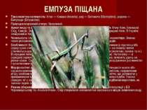 ЕМПУЗА ПІЩАНА Таксономічна належність:Клас — Комахи (Insecta), ряд — Богомол...