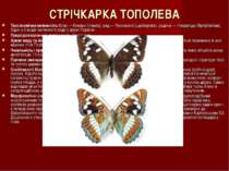 СТРІЧКАРКА ТОПОЛЕВА Таксономічна належність:Клас — Комахи (Insecta), ряд — Лу...