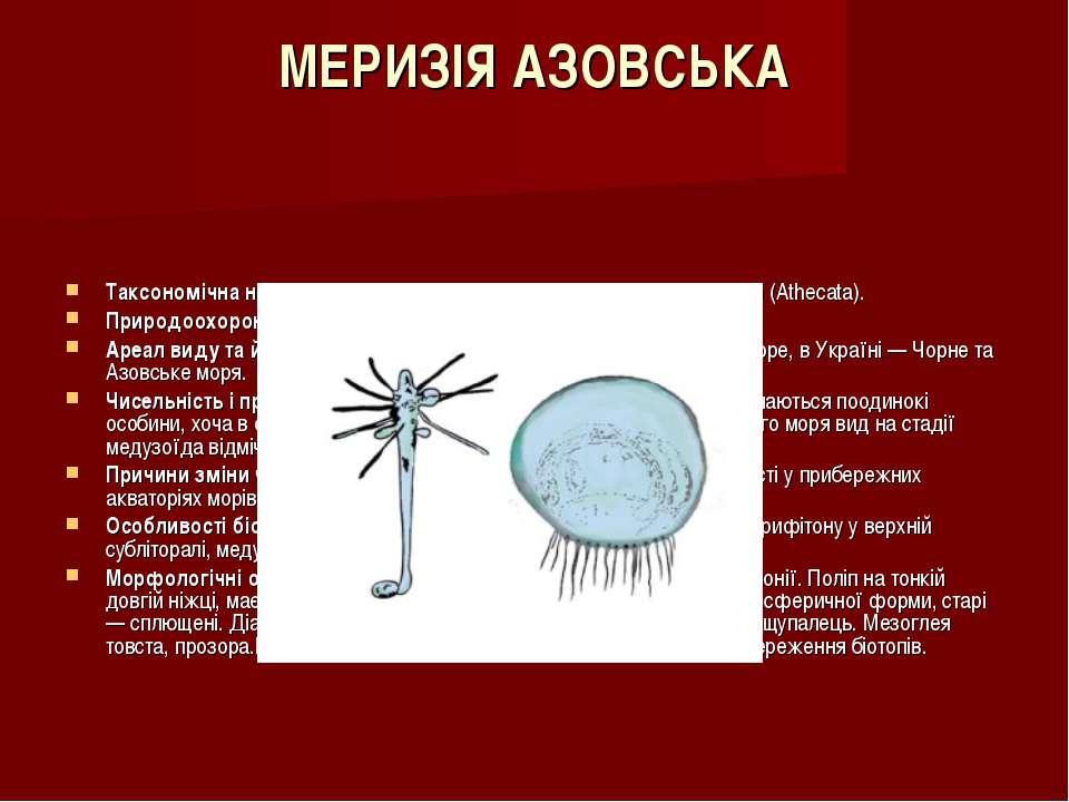 МЕРИЗІЯ АЗОВСЬКА Таксономічна належність:Клас — Гідроїди (Hydrozoa), ряд — Ат...