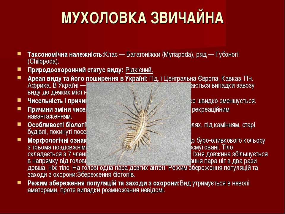 МУХОЛОВКА ЗВИЧАЙНА Таксономічна належність:Клас — Багатоніжки (Myriapoda), ря...