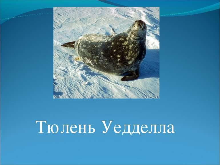 Тюлень Уедделла