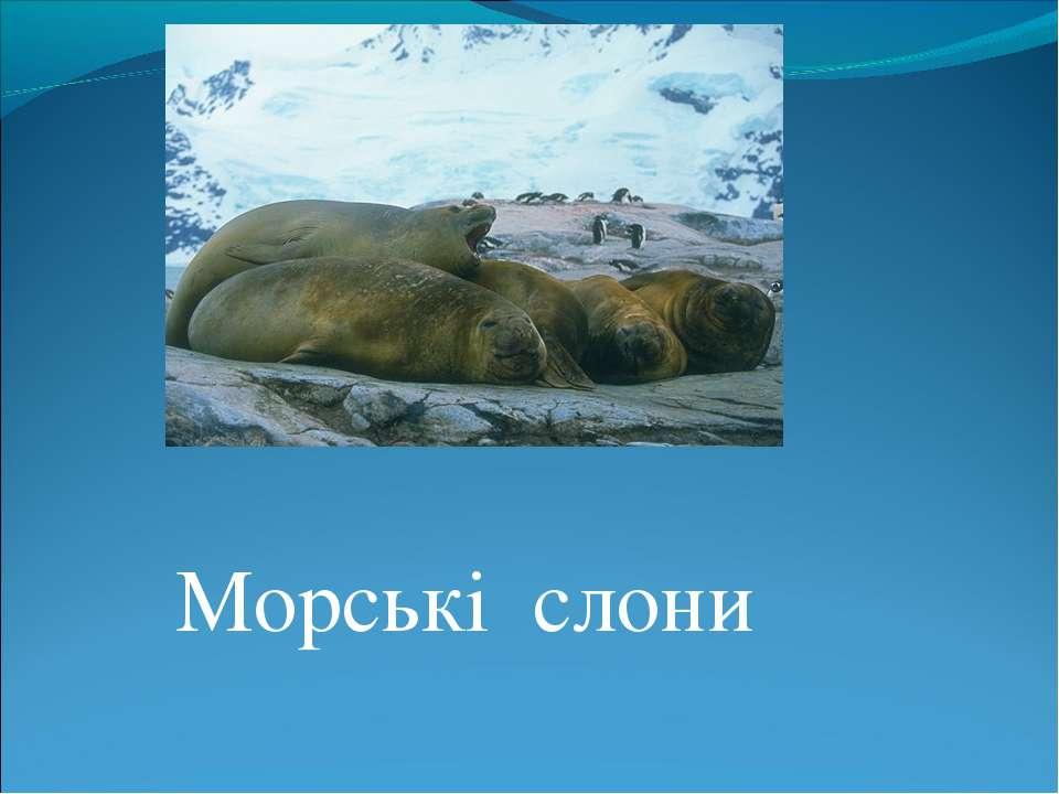 Морські слони