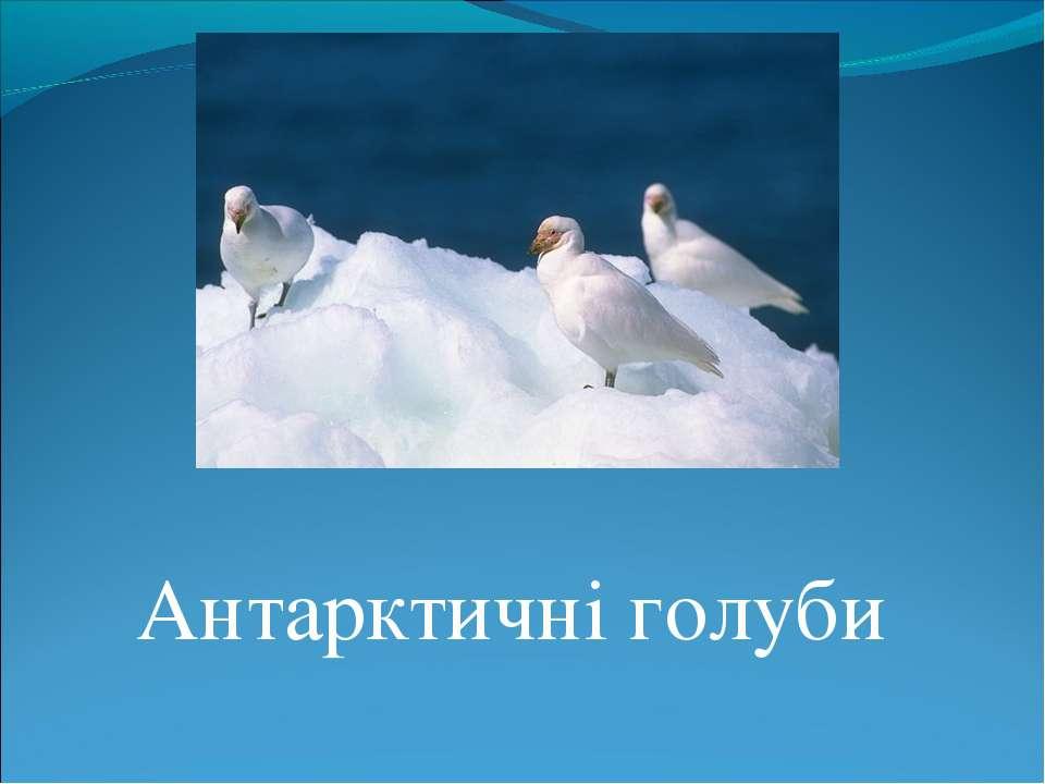 Антарктичні голуби