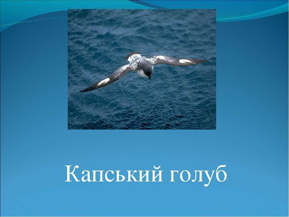 Капський голуб