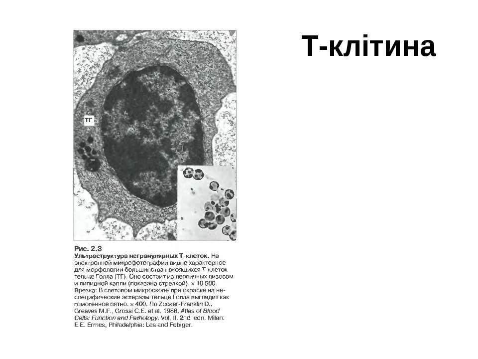 Т-клітина