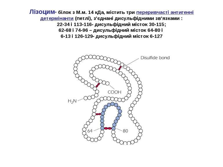 Лізоцим- білок з М.м. 14 кДа, містить три переривчасті антигенні детермінанти...