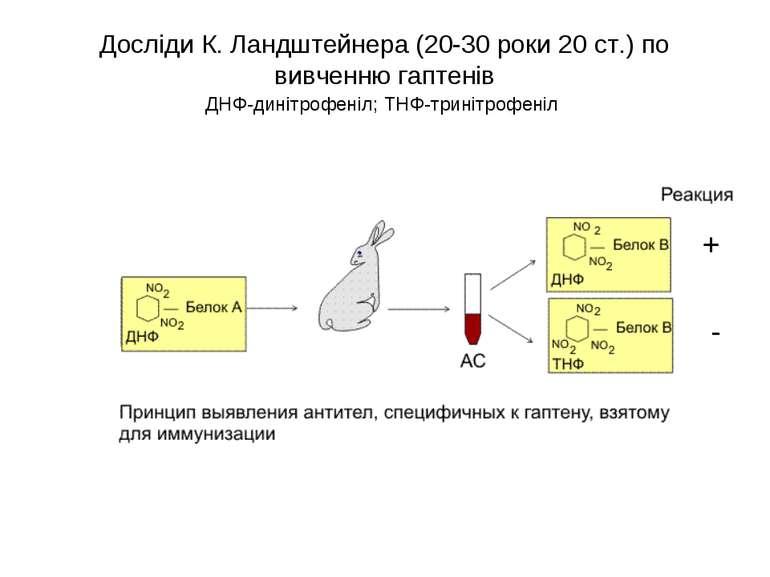 Досліди К. Ландштейнера (20-30 роки 20 ст.) по вивченню гаптенів ДНФ-динітроф...