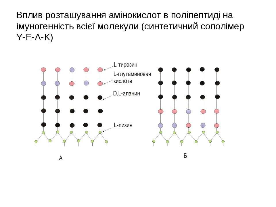 Вплив розташування амінокислот в поліпептиді на імуногенність всієї молекули ...