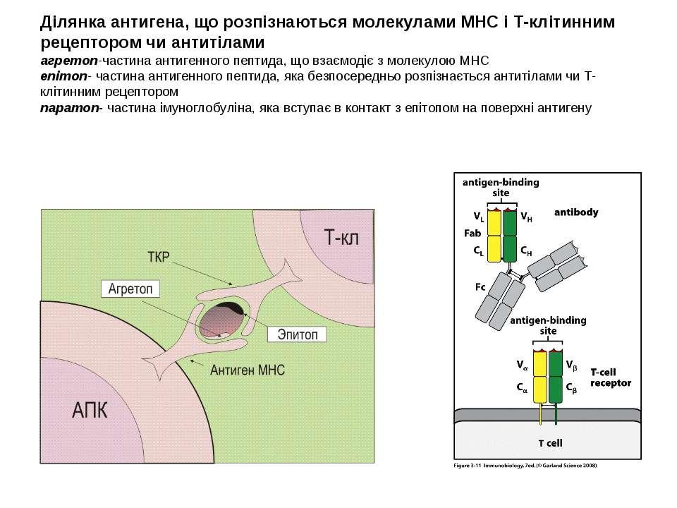 Ділянка антигена, що розпізнаються молекулами МНС і Т-клітинним рецептором чи...