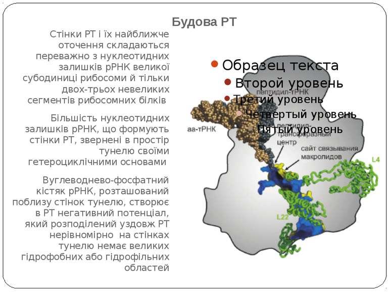 Будова РТ Стінки РТ і їх найближче оточення складаються переважно з нуклеотид...