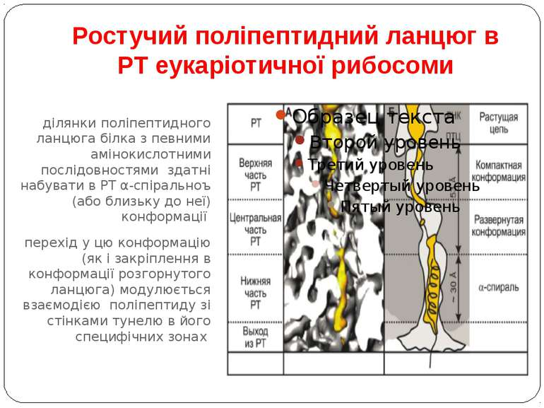 Ростучий поліпептидний ланцюг в РТ еукаріотичної рибосоми ділянки поліпептидн...