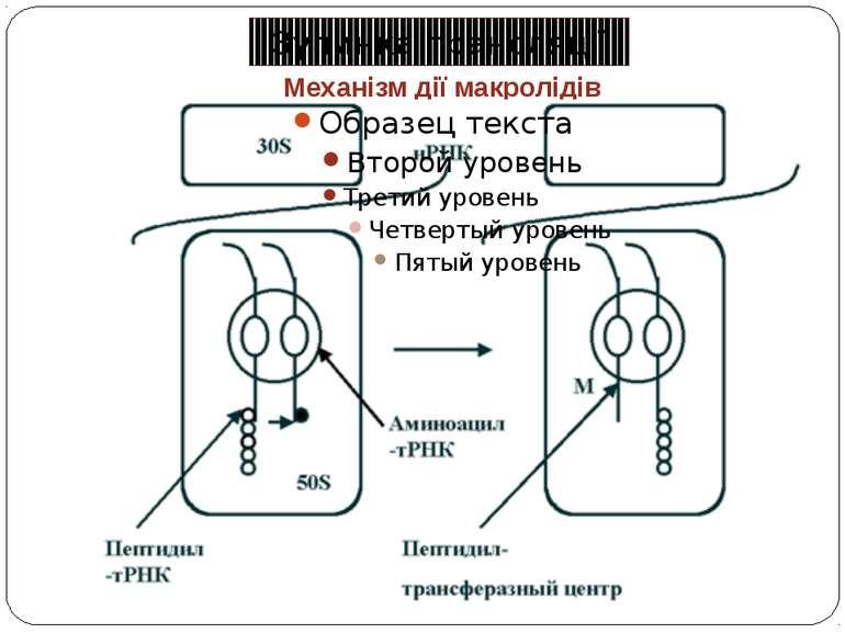 Механізм дії макролідів Зупинка трансляції