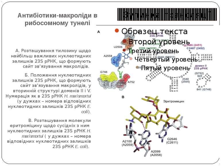 Антибіотики-макроліди в рибосомному тунелі А. Розташування тилозину щодо найб...