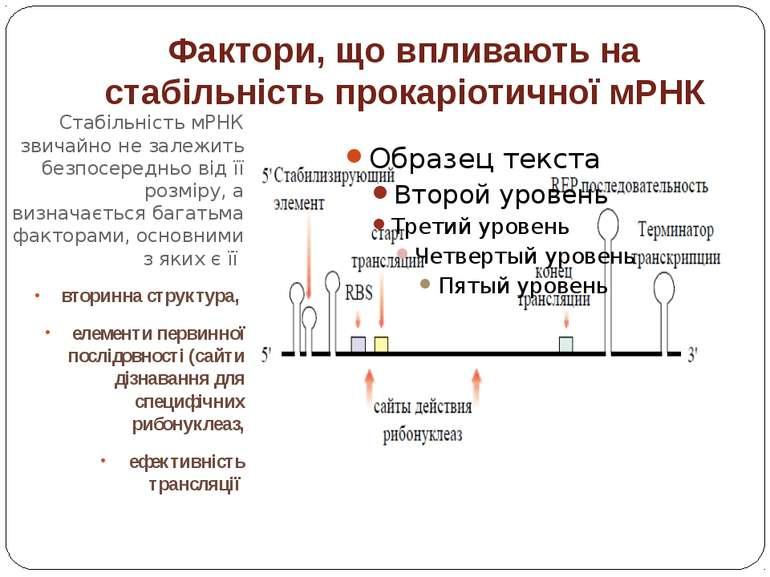 Фактори, що впливають на стабільність прокаріотичної мРНК Стабільність мРНК з...