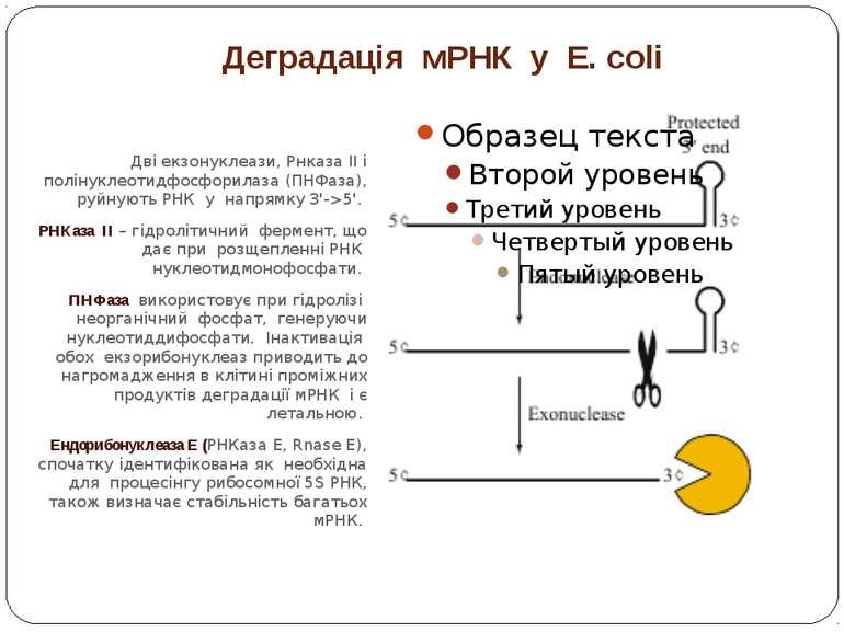 Деградація мРНК у E. coli Дві екзонуклеази, Рнказа II і полінуклеотидфосфорил...