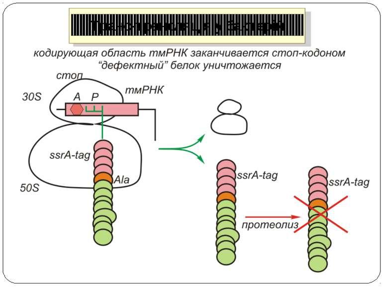 Транс-трансляція у бактерій