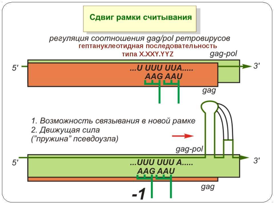 гептануклеотидная последовательность типа X.XXY.YYZ