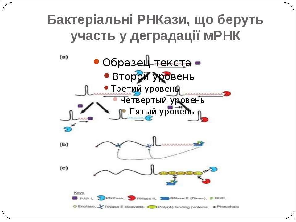 Бактеріальні РНКази, що беруть участь у деградації мРНК