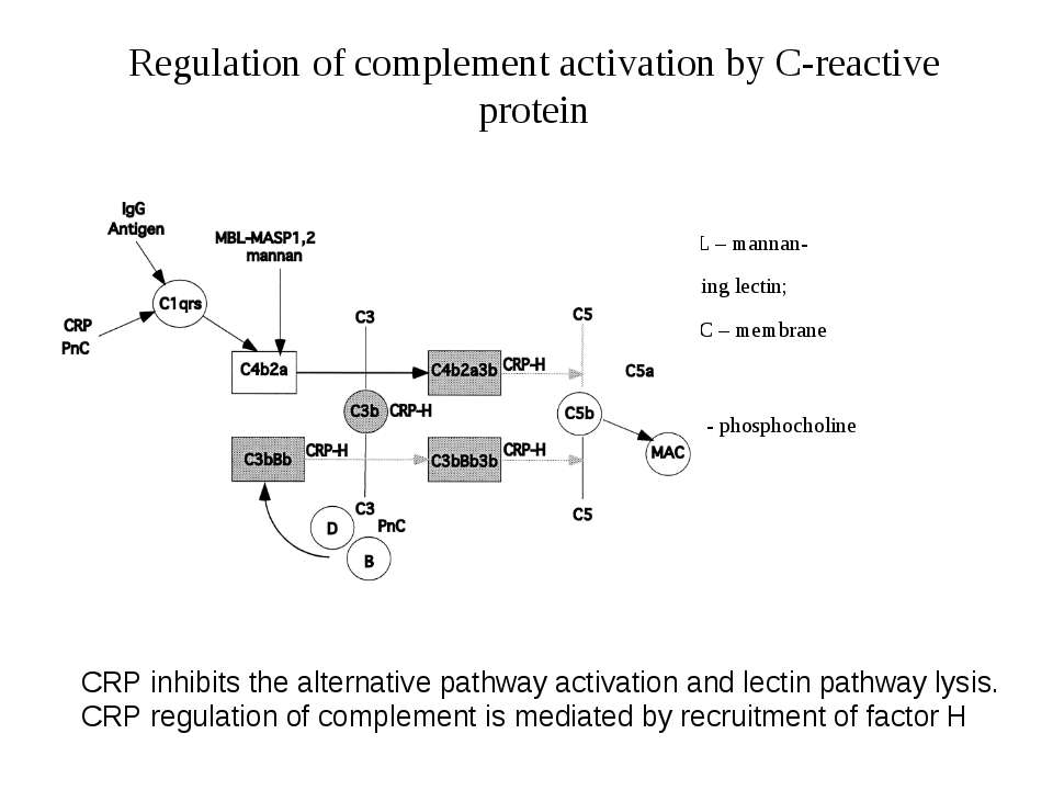 Regulation of complement activation by C-reactive protein MBL – mannan- b bin...